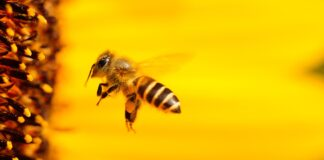 Αγγλία Μέλισσες