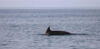 Δελφίνια iSea